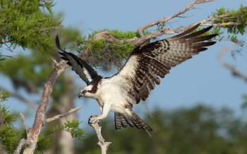 Animal - Osprey Wallpapers and Backgrounds ID : 434560