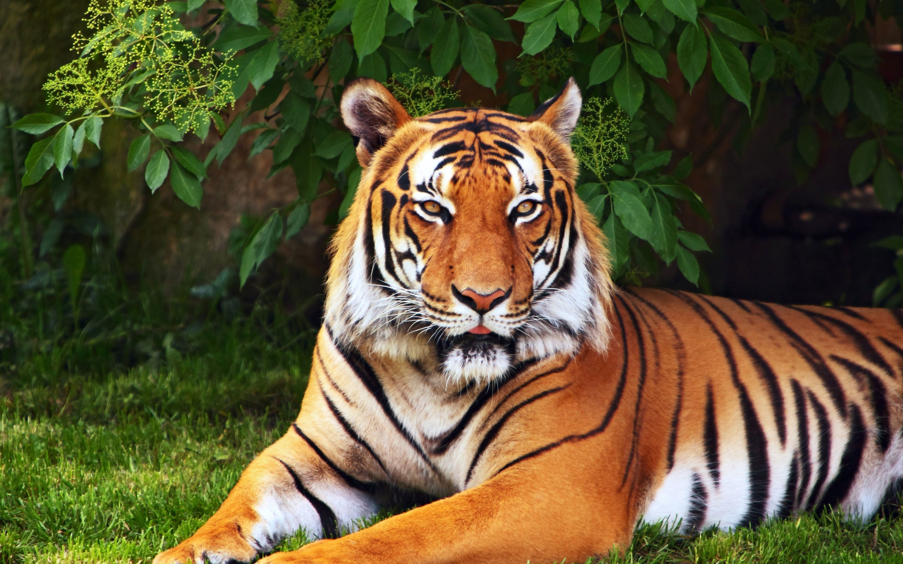 Tiger Hd Wallpaper Background Image 2880x1800 Id 436232