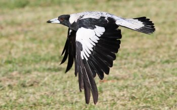 Animal - Magpie Wallpapers and Backgrounds ID : 436081