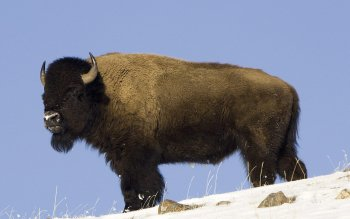 Animal - Buffalo Wallpapers and Backgrounds ID : 436689