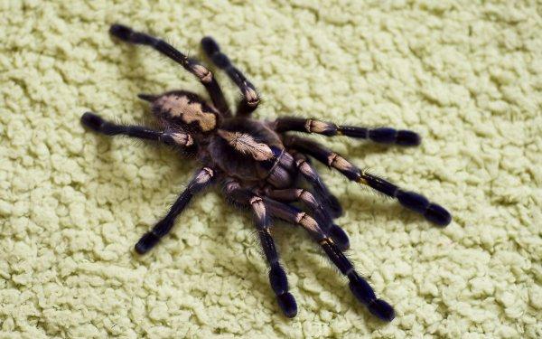 Animal Tarantula Spiders Spider Gooty Sapphire Ornamental HD Wallpaper | Background Image