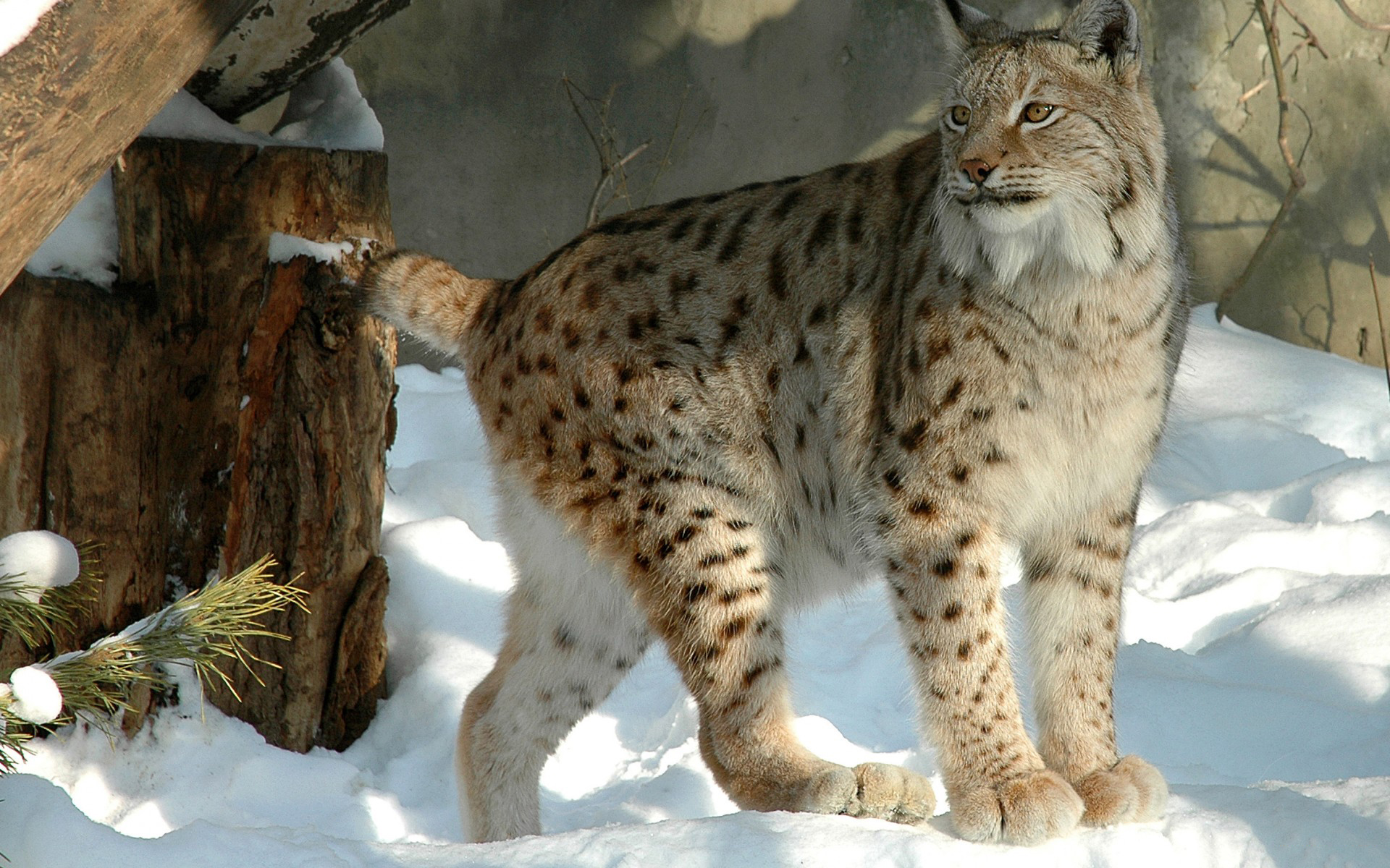 lynx hd wallpaper background image 1920x1200 id