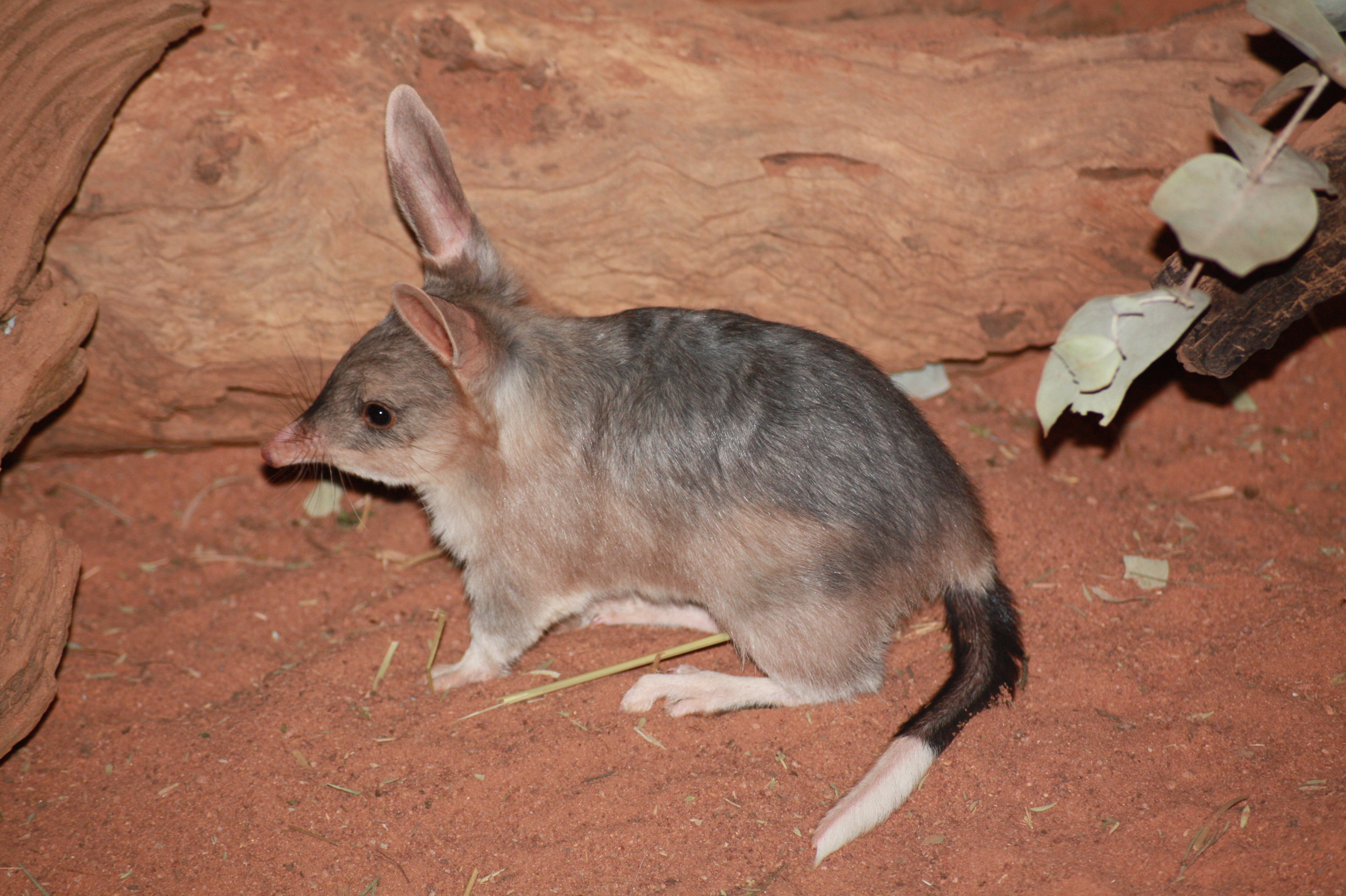 4 Bilby Hd Wallpapers Backgrounds Wallpaper Abyss