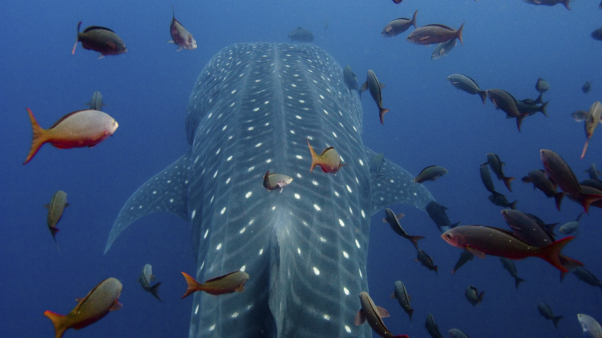 Whale Shark Full HD Wallpaper and Background | 1920x1080 ...