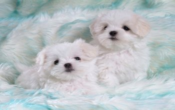 Animal - Maltese Wallpapers and Backgrounds ID : 439142
