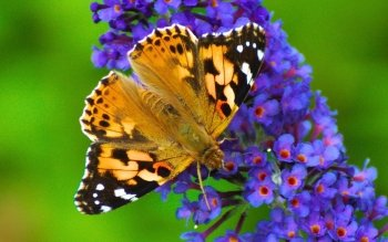 Animal - Butterfly Wallpapers and Backgrounds ID : 439403