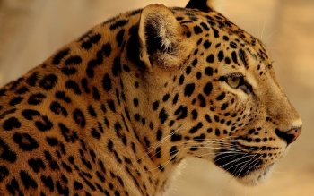 Animalia - Leopard Wallpapers and Backgrounds ID : 439890