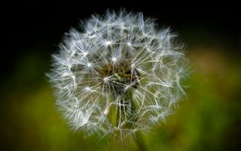 Erde - Dandelion Wallpapers and Backgrounds ID : 440169