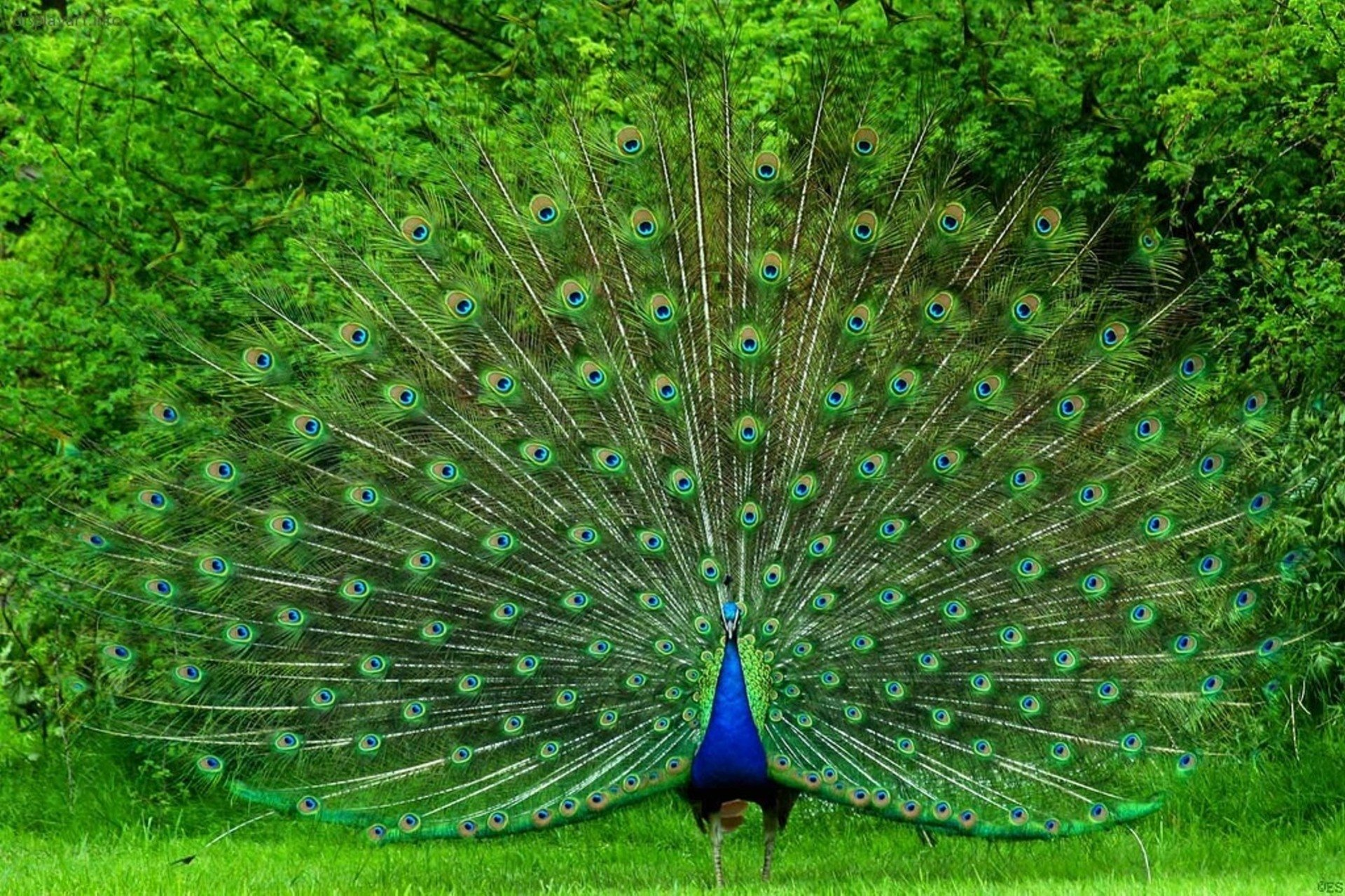 135 peacock hd wallpapers | background images - wallpaper abyss