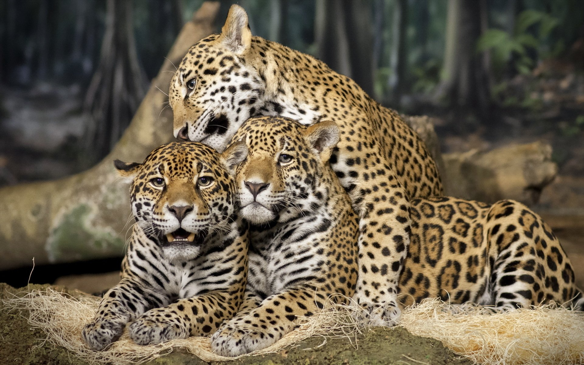 Animals Jaguars Wallpapers Hd Desktop And Mobile: Jaguar Full HD Wallpaper And Hintergrund