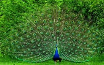 Animal - Peacock Wallpapers and Backgrounds ID : 441138
