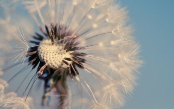 Earth - Dandelion Wallpapers and Backgrounds ID : 441622