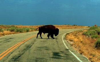 Animal - Buffalo Wallpapers and Backgrounds ID : 442812