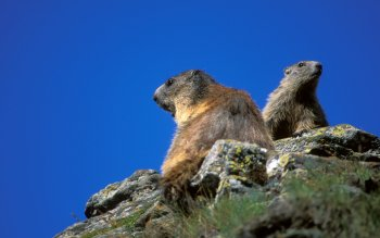 Djur - Marmot Wallpapers and Backgrounds ID : 442860