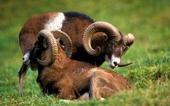 Animal - Big Horned Sheep Wallpapers and Backgrounds ID : 442864