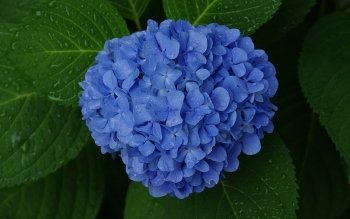 Earth - Hydrangea Wallpapers and Backgrounds ID : 443138