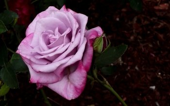 Земля - Rose Wallpapers and Backgrounds ID : 443496