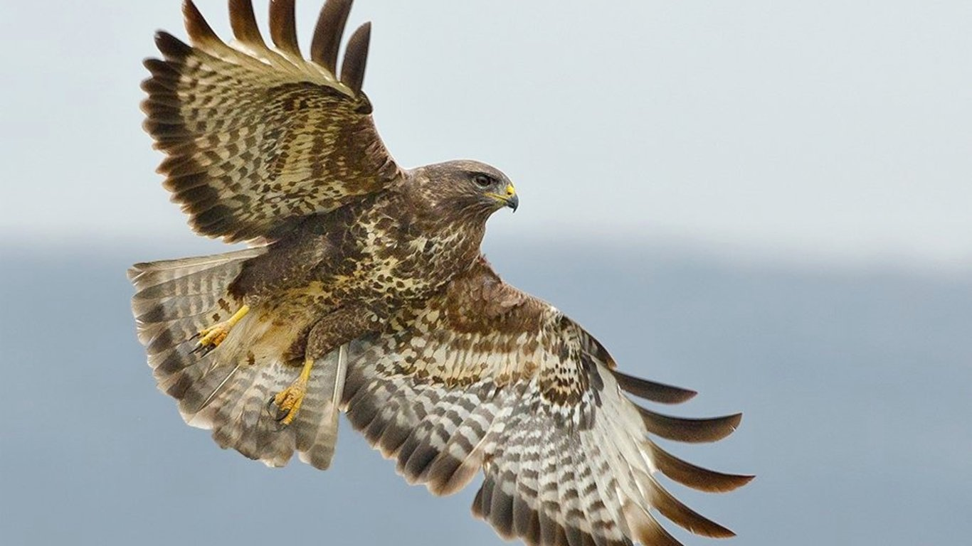 Hawk wallpaper and background image 1366x768 id 445576 - Hawk iphone wallpaper ...