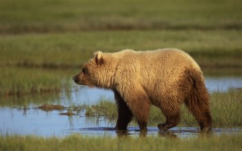 Animal - Bear Wallpapers and Backgrounds ID : 445021