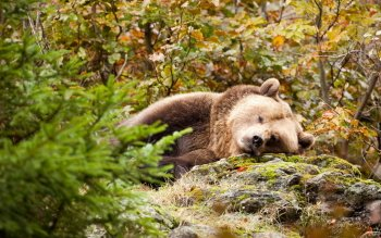 Animal - Bear Wallpapers and Backgrounds ID : 445392