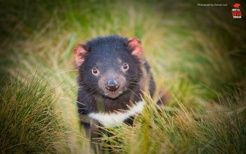 Animal - Tasmanian Devil Wallpapers and Backgrounds ID : 445553