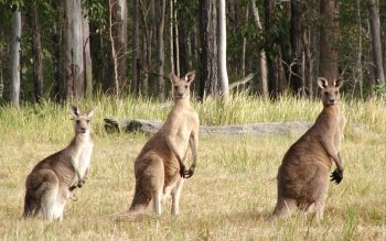 Animal - Kangaroo Wallpapers and Backgrounds ID : 445901