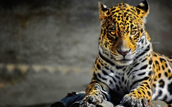 Animalia - Leopard Wallpapers and Backgrounds ID : 448423