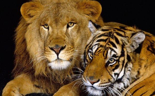 Animales León Gatos Tigre Wildlife Fondo de pantalla HD | Fondo de Escritorio