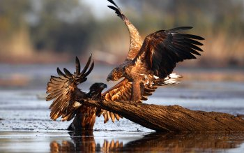 Animal - Eagle Wallpapers and Backgrounds ID : 450310