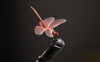 Animal - Dragonfly Wallpapers and Backgrounds ID : 451574
