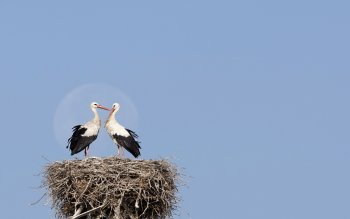 Animal - Stork Wallpapers and Backgrounds ID : 453722
