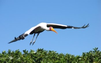 Animal - Stork Wallpapers and Backgrounds ID : 454863