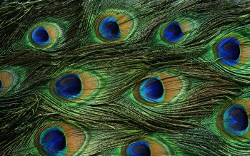 Animal - Peacock Wallpapers and Backgrounds ID : 455635
