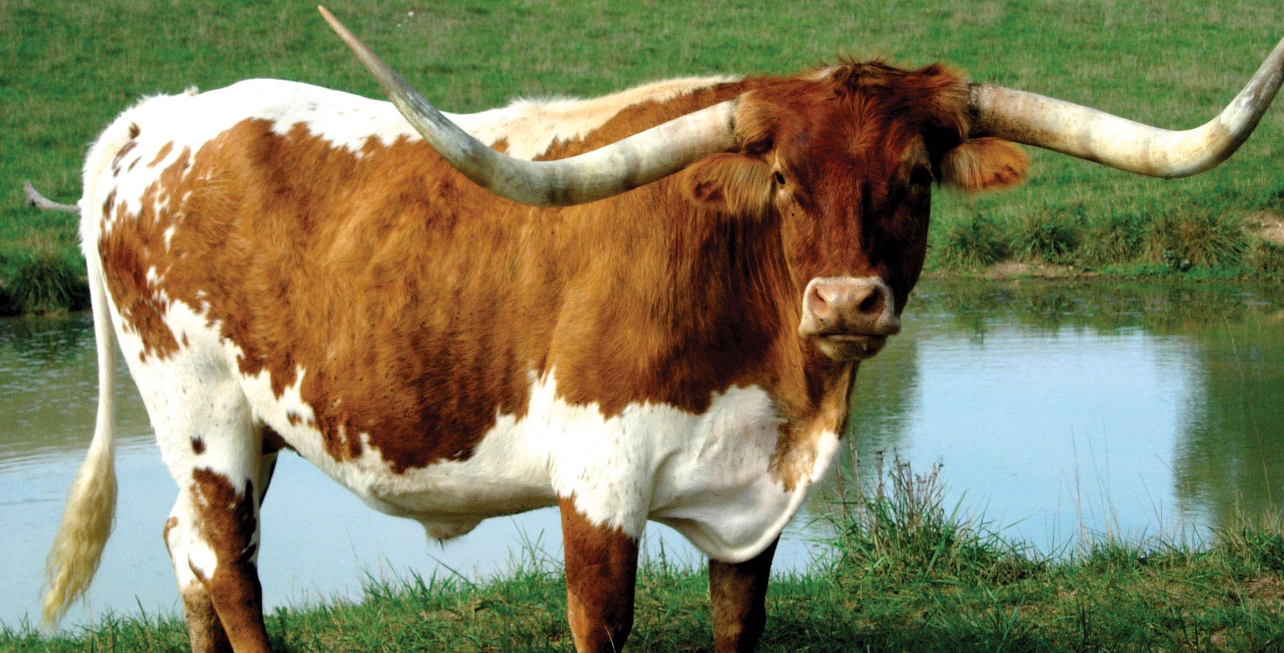 6 Longhorn Cattle HD Wallpapers | Backgrounds - Wallpaper ...