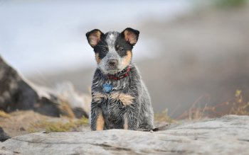 Animal - Australian Cattle Dog Wallpapers and Backgrounds ID : 456234