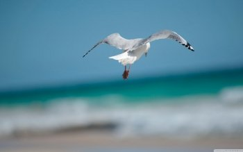 Animalia - Seagull Wallpapers and Backgrounds ID : 457166
