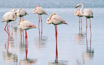Dierenrijk - Flamingo Wallpapers and Backgrounds ID : 457989