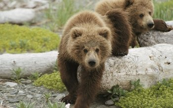 Animal - Bear Wallpapers and Backgrounds ID : 458643