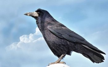 Animal - Crow Wallpapers and Backgrounds ID : 458654