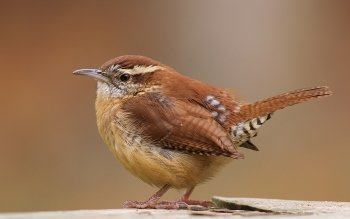 Animal - Wren Wallpapers and Backgrounds ID : 461239