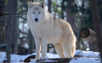 Animal - Wolf Wallpapers and Backgrounds ID : 461730
