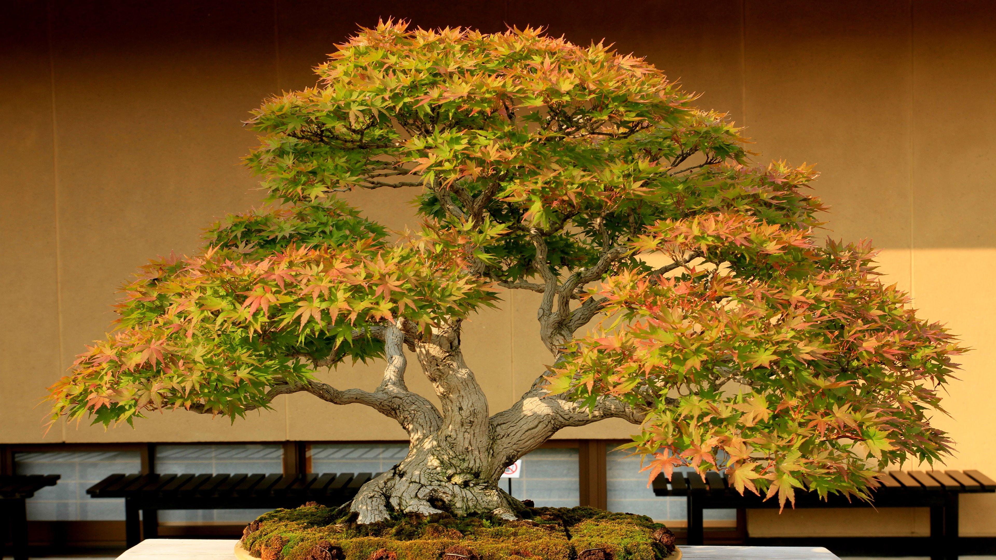 17 bonsai hd wallpapers backgrounds wallpaper abyss