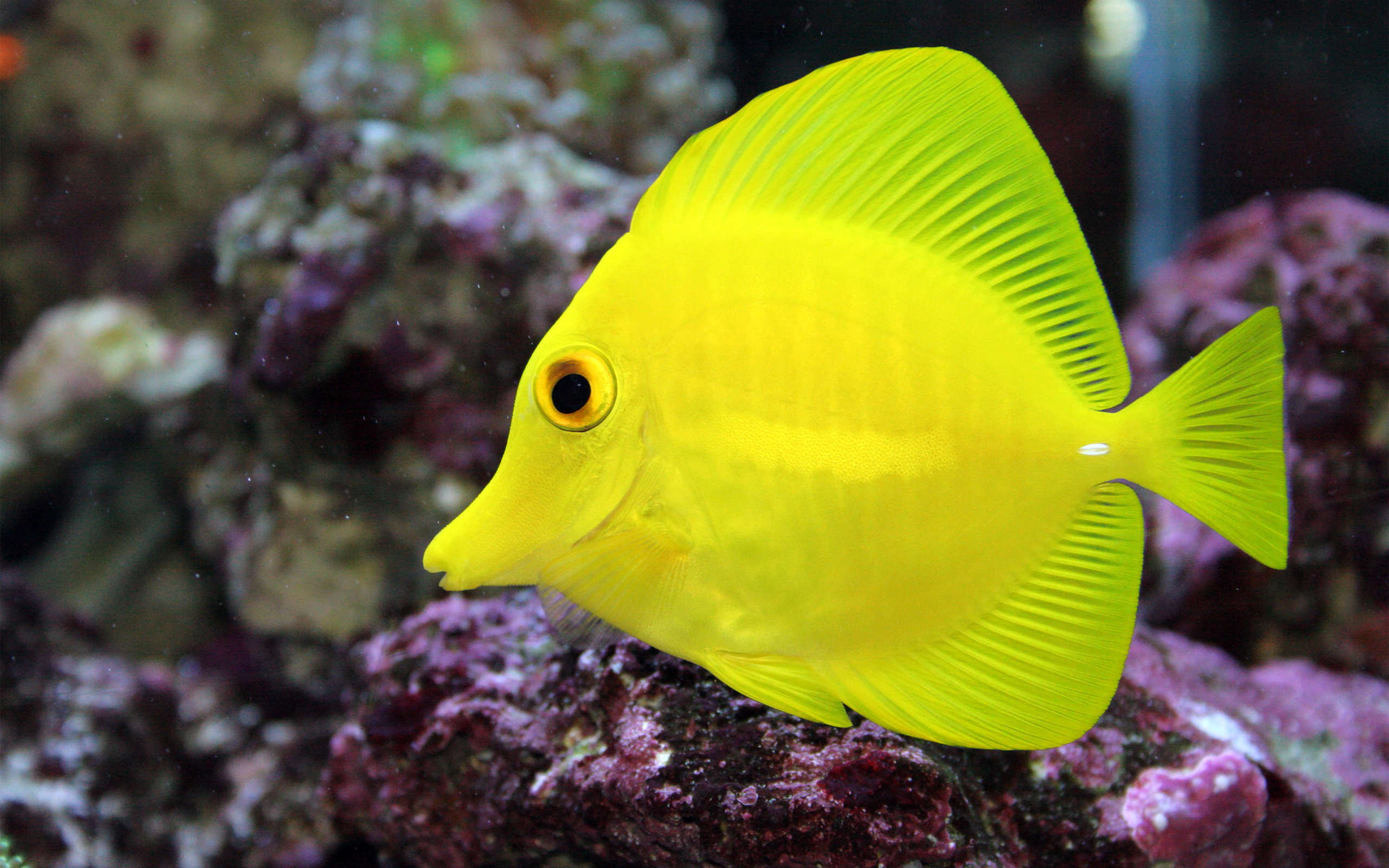 Tang full hd wallpaper and background image 2560x1600 for Yellow tang fish
