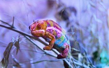 Animal - Chameleon Wallpapers and Backgrounds ID : 462044