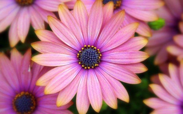 Terre/Nature Marguerite africaine Fleur Pink Flower Daisy Fond d'écran HD | Image