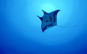 Animal - Manta Ray Wallpapers and Backgrounds ID : 464482