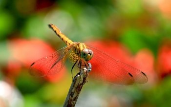 Animal - Dragonfly Wallpapers and Backgrounds ID : 464492