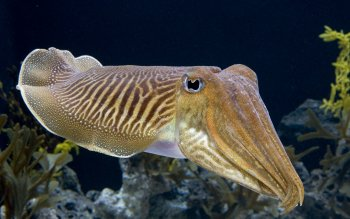 Animal - Cuttlefish Wallpapers and Backgrounds ID : 464771