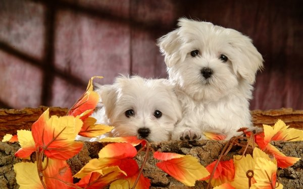 Animal Maltese Dogs Dog HD Wallpaper   Background Image