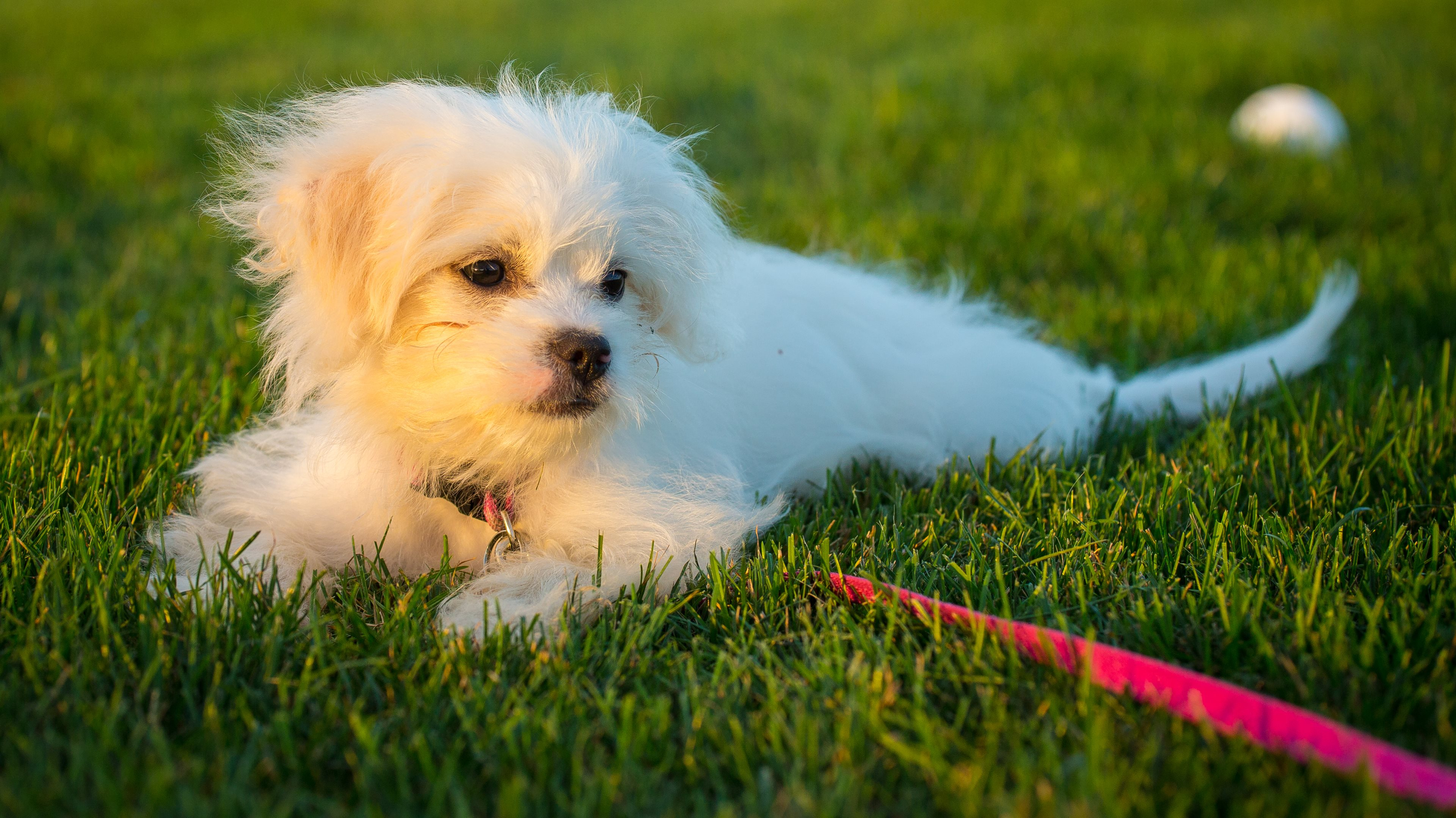 Puppy 4k ultra hd fond d 39 cran and arri re plan for Fond ecran chiot